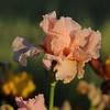 IRIS_Flower_vuillerens_01062012_0232