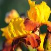 IRIS_Flower_vuillerens_01062012_0236