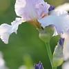 IRIS_Flower_vuillerens_01062012_0037