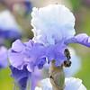 IRIS_Flower_vuillerens_01062012_0031