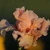 IRIS_Flower_vuillerens_01062012_0254