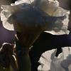 IRIS_Flower_vuillerens_01062012_0077