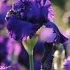 IRIS_Flower_vuillerens_01062012_0064