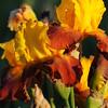 IRIS_Flower_vuillerens_01062012_0233