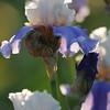 IRIS_Flower_vuillerens_01062012_0071