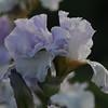 IRIS_Flower_vuillerens_01062012_0055