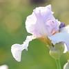 IRIS_Flower_vuillerens_01062012_0036