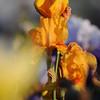 IRIS_Flower_vuillerens_01062012_0193