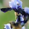 IRIS_Flower_vuillerens_01062012_0028
