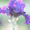 IRIS_Flower_vuillerens_01062012_0053