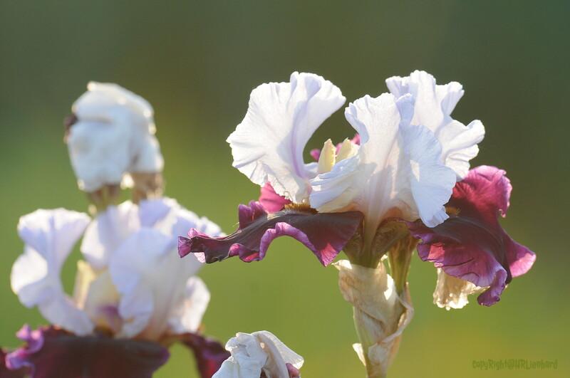 IRIS_Flower_vuillerens_01062012_0151