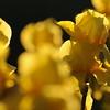 IRIS_Flower_vuillerens_01062012_0153