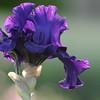 IRIS_Flower_vuillerens_01062012_0043