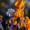 IRIS_Flower_vuillerens_01062012_0179
