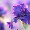 IRIS_Flower_vuillerens_01062012_0046