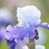 IRIS_Flower_vuillerens_01062012_0033