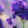 IRIS_Flower_vuillerens_01062012_0049
