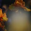 IRIS_Flower_vuillerens_01062012_0196