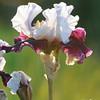 IRIS_Flower_vuillerens_01062012_0148