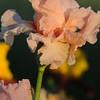 IRIS_Flower_vuillerens_01062012_0249