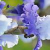 IRIS_Flower_vuillerens_01062012_0030