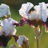 IRIS_Flower_vuillerens_01062012_0149