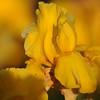 IRIS_Flower_vuillerens_01062012_0174
