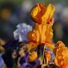 IRIS_Flower_vuillerens_01062012_0181