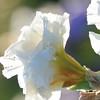 IRIS_Flower_vuillerens_01062012_0076