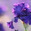 IRIS_Flower_vuillerens_01062012_0047