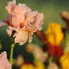 IRIS_Flower_vuillerens_01062012_0242