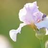 IRIS_Flower_vuillerens_01062012_0034