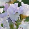 IRIS_Flower_vuillerens_01062012_0056