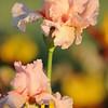 IRIS_Flower_vuillerens_01062012_0227