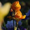 IRIS_Flower_vuillerens_01062012_0184