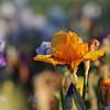IRIS_Flower_vuillerens_01062012_0182