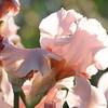 IRIS_Flower_vuillerens_01062012_0090