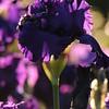 IRIS_Flower_vuillerens_01062012_0068