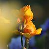 IRIS_Flower_vuillerens_01062012_0187