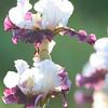 IRIS_Flower_vuillerens_01062012_0141