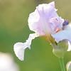 IRIS_Flower_vuillerens_01062012_0035