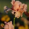IRIS_Flower_vuillerens_01062012_0231