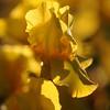 IRIS_Flower_vuillerens_01062012_0168