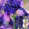 IRIS_Flower_vuillerens_01062012_0063