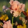 IRIS_Flower_vuillerens_01062012_0225