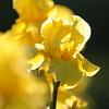 IRIS_Flower_vuillerens_01062012_0158