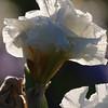 IRIS_Flower_vuillerens_01062012_0074