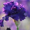 IRIS_Flower_vuillerens_01062012_0045