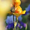 IRIS_Flower_vuillerens_01062012_0186