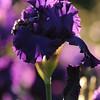 IRIS_Flower_vuillerens_01062012_0067